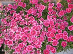 flowers 060809 012