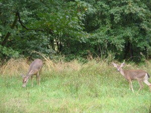 Duvall Deer 001
