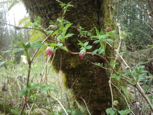 The first salmonberry blooms of the year.