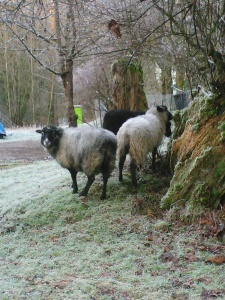 Out for a forage; Pebbles and her 8.5 month old lambs - Fergus to the right and Minnie the black in the middle.