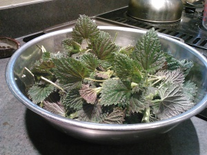 Fresh nettle tips - the first of spring.