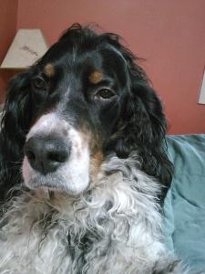 My adorable Farley-foo, most handsomest Setter ever!