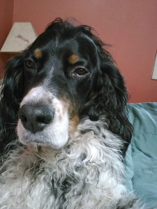 My adorable Farley-foo, most handsomest Setter ever!