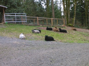 The sheep hanging out  last weekend.