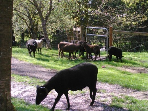 Milling around at the gate to the pasture.  Not quite ready for grazing.