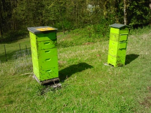 Beatrice (RIP) on left, Regina, in the Warre hive, on the right.