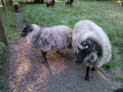 Pebbles (on right) with Fergus as a lamb.