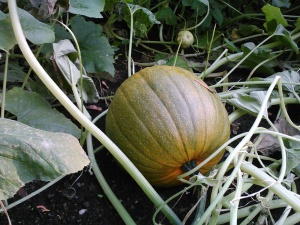 I have been ridiculously excited about the pumpkins.