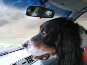 My copilot, Farley, on the way home from getting his ORT.