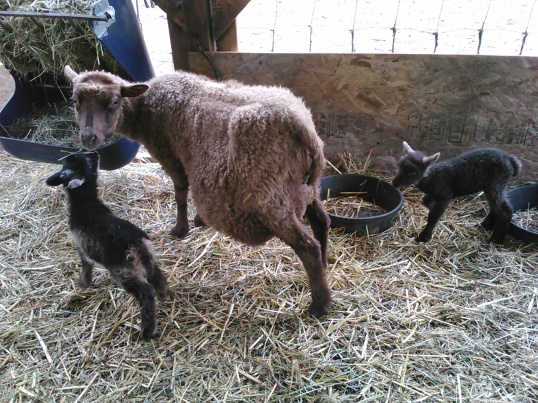 Lorna and her babies; these two lambs were probably the only reason she pulled through after a very difficult assisted birth.