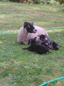 Pebbles and her twin ram lambs.