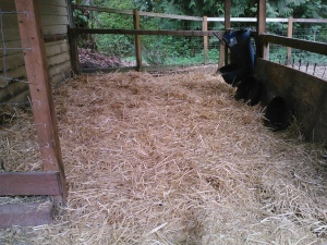 Cleaned and fresh straw spread - ready for lambing!