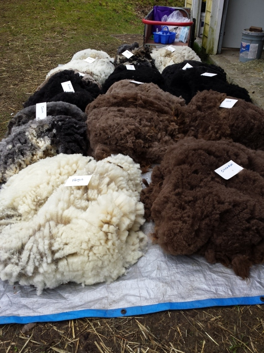 Now my work begins: 14 beautiful fleeces to skirt and ready for selling and/or processing.