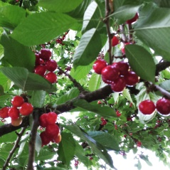 The cherry tree is going crazy this year!