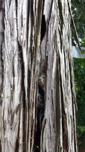 The loose bark leaves just enough room for the creeper to squeeze in and make a nest (note nesting materials below entrance area.
