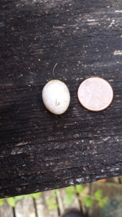The unhatched egg. So tiny!