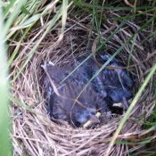 Less than a week after I found them; another few days and they would be fledged.