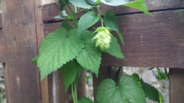 And then real live hops!