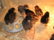 chicks-april-3-2010-001