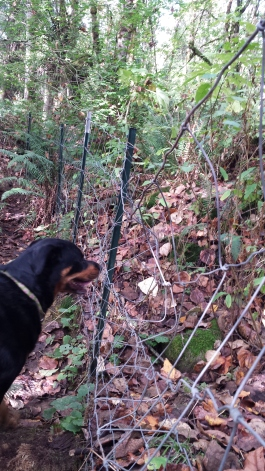 The back fence is pretty loose, and crunched by the bear's exit. Daisy gets SO excited when I clap my hands.