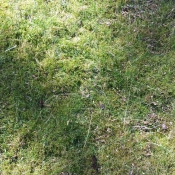 And of course with shade comes moss - again, the lime would help here. The grass has a hard time competing with this.