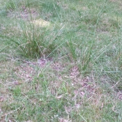 """Lots of this, all over the property - sedge. The sheep love the flowers (not """"real"""" flowers) and will sometimes nibble it, but it's another sign of poor, and wet soil."""