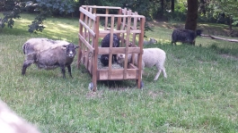 I moved the portable hay feeder out to the pasture today. I will be glad when the lambs grow too big to be getting into it (and the one in the pen too).
